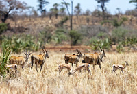 Gazelles Tussle as Elands Depart