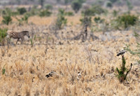 Zebra with Scavenging Tawny Eagles