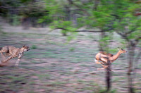 Cheetah Pursuing an Impala