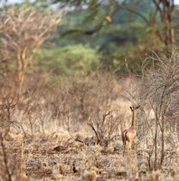Female Gerenuk Near Large Trees