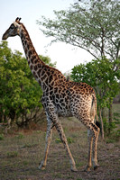 Adult Giraffe with Oxpeckers