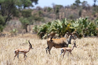 Eland with Two Grant's Gazelles